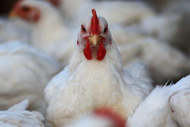 Μισό εκατομμύριο κοτόπουλα θανατώθηκαν στην Ιταλία