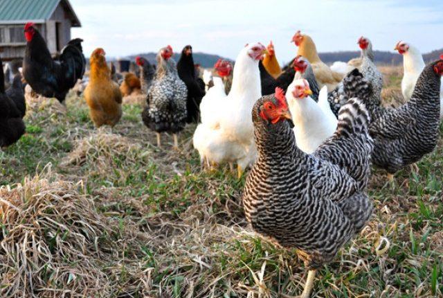 Συνεχή επαγρύπνηση για την γρίπη των πτηνών ζητά ο FAO