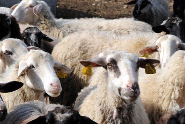 Κρούσμα καταρροϊκού πυρετού σε πρόβατο στο Δήμο Σπάρτης