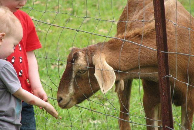 ΟΠΕΚΕΠΕ: Πραγματοποιήθηκε η πληρωμή της 2ης δόσης για το αιγοπρόβειο κρέας