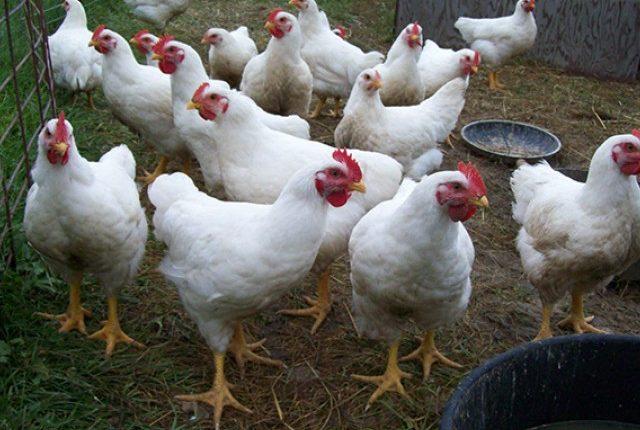 Μείωση στην παραγωγή πουλερικών προβλέπει η Κομισιόν