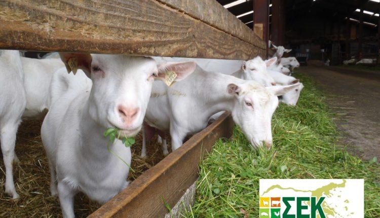 ΣΕΚ: «Μειωμένες τιμές στο γάλα και ελληνοποιήσεις πλήττουν την αιγοπροβατοτροφία»