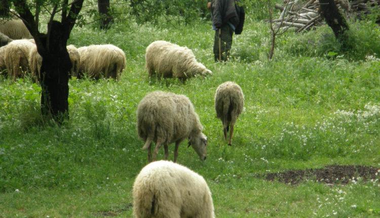 Κρατικές ενισχύσεις 9,1 εκατ. ευρώ στους Κρήτες αιγοπροβατοτρόφους