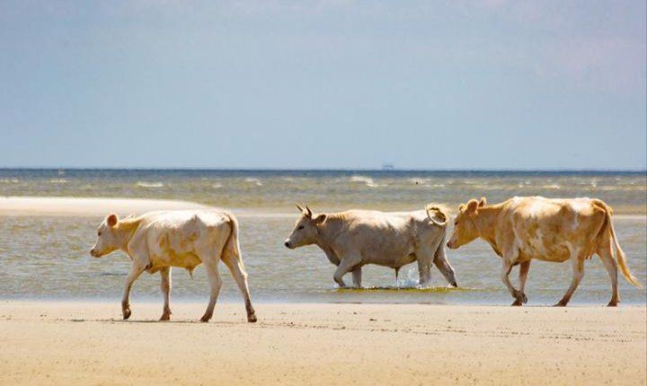 Αγελάδες παρασύρονται από τυφώνα για να βρεθούν ζωντανές σε ερημονήσι