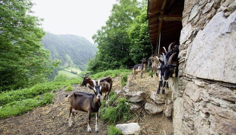 Πρόσβαση στους βοσκότοπους και τις κτηνοτροφικές εγκαταστάσεις ζητά για τρίτη φορά ο βουλευτής της ΝΔ Γ. Αμυράς
